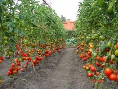 vysokourozhaynyy_metod_vysazhivaniya_pomidornoy_rassady