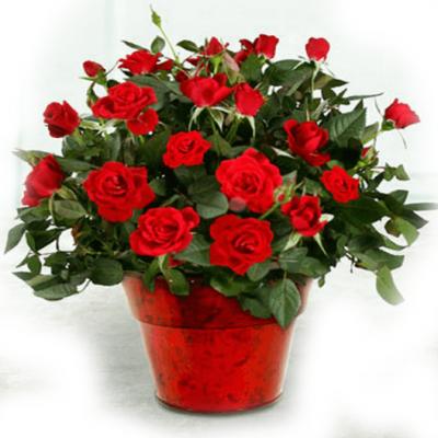 Домашние цветы в подарок женщине доставка цветов в днепропеетровске