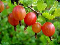 Плодово-ягодные вина.